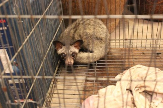 A civet rescued from a market in Phnom Penh