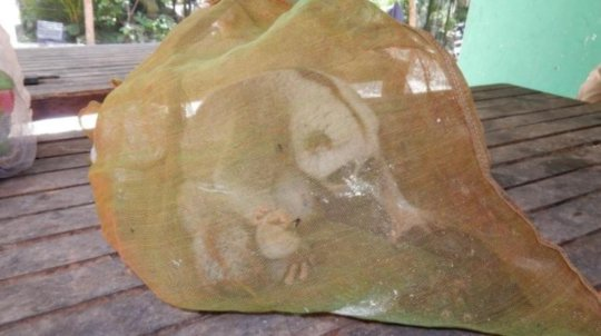 Slow loris rescued from the illegal wildlife trade