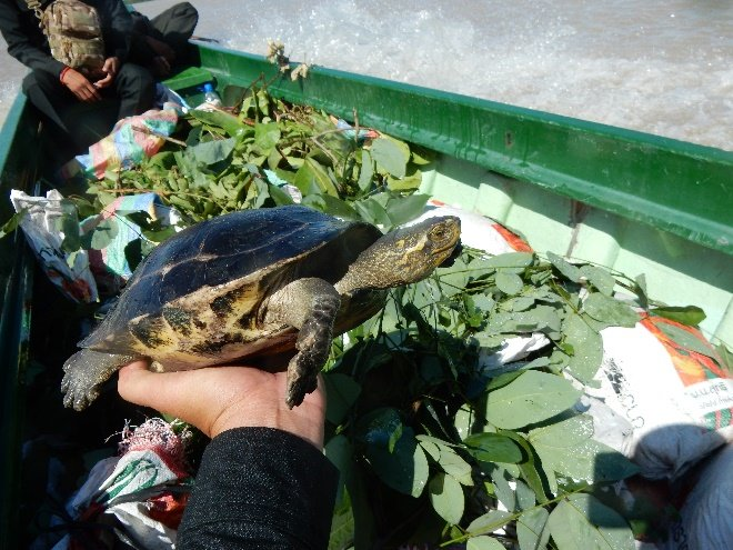 50 yellow-headed temple turtles rescued