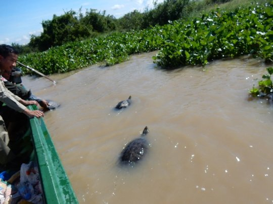 Critically Endangered turtles return to the wild