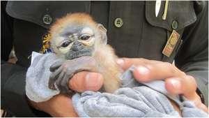 Baby Douc Langur