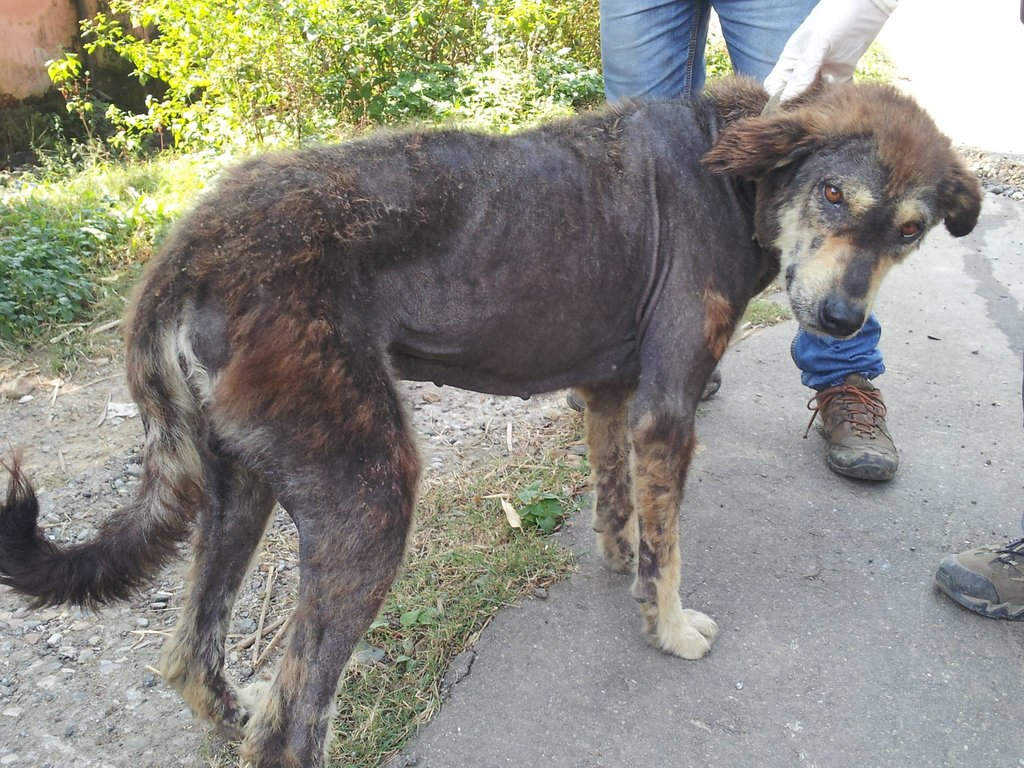 A dog with mange getting treatment