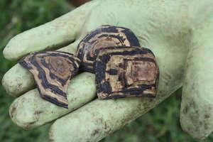 Poor left overs of a Leopard Tortoise