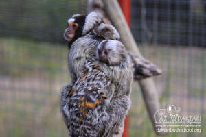 Lovely babies Marmosets