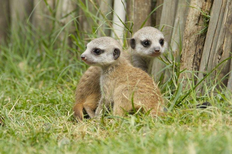 2 adorable baby meerkats
