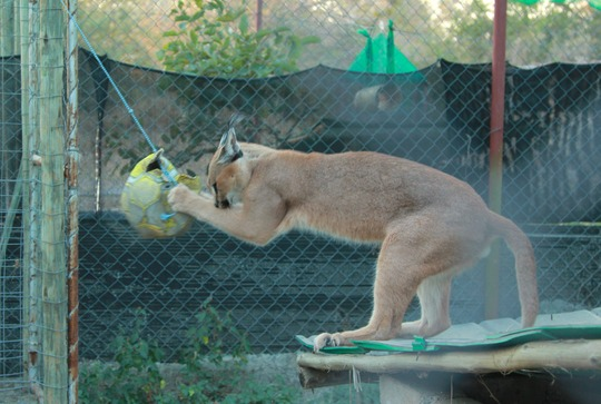 Soccer star Shaangaan the Caracal
