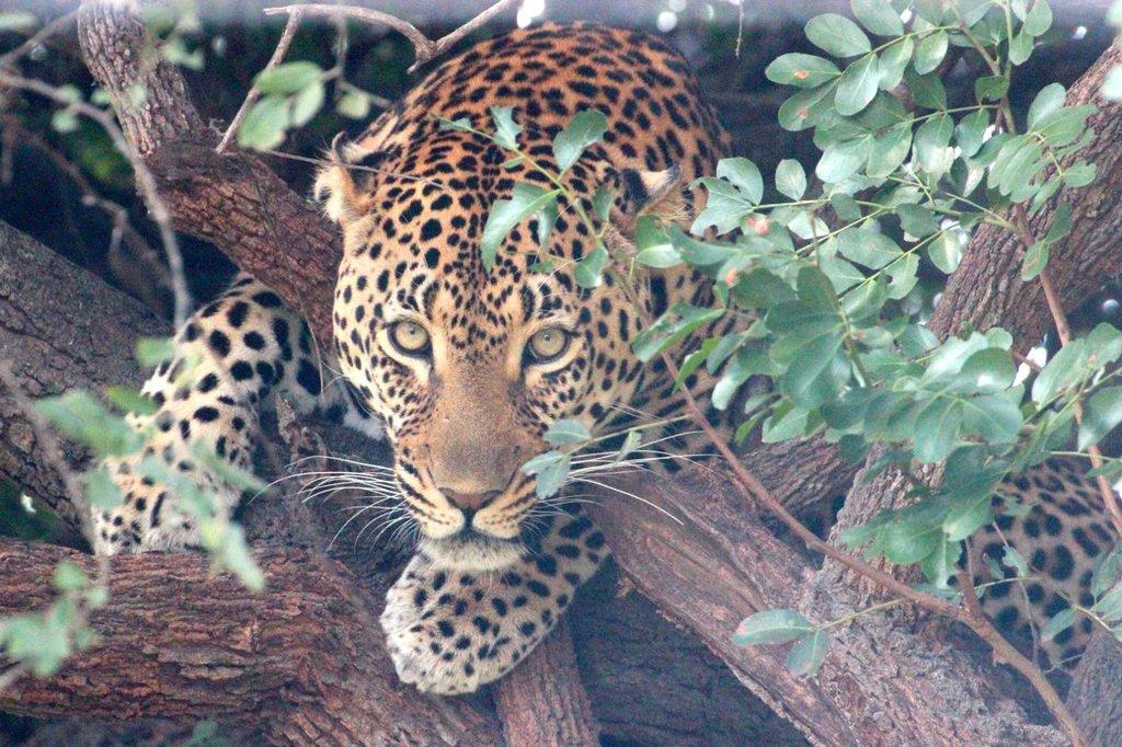 Shiloweni hiding in his tree