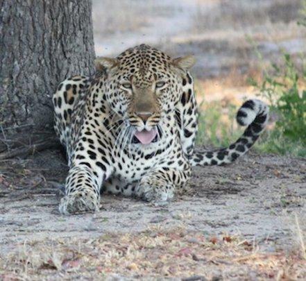 Leopard resting