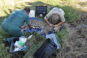 Leopard and the vet