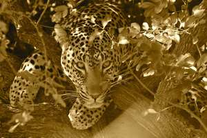 Provide food and care for our leopard for one year