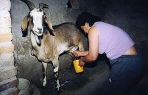 Milking in Santiago del Estero