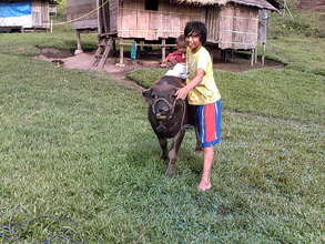 young carabao, waiting to work the field
