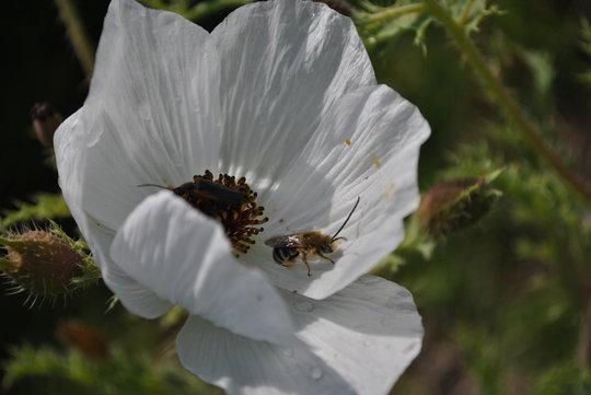 Bees on Matilija Poppy