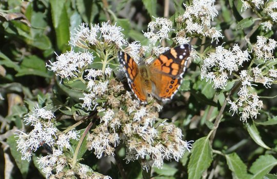 Monarch Butterfly pollination