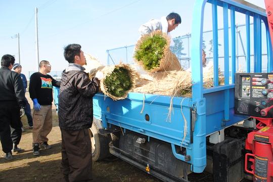 Tsunami survivors while hauling the seedlings.