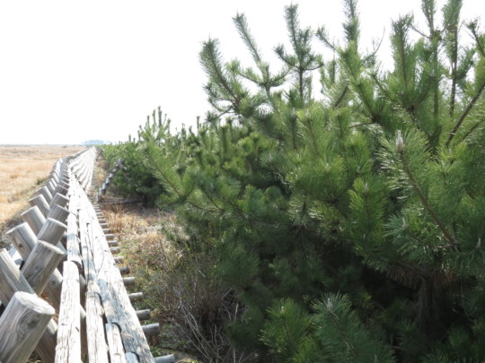 Growing black-pines and the degrading wooden fence