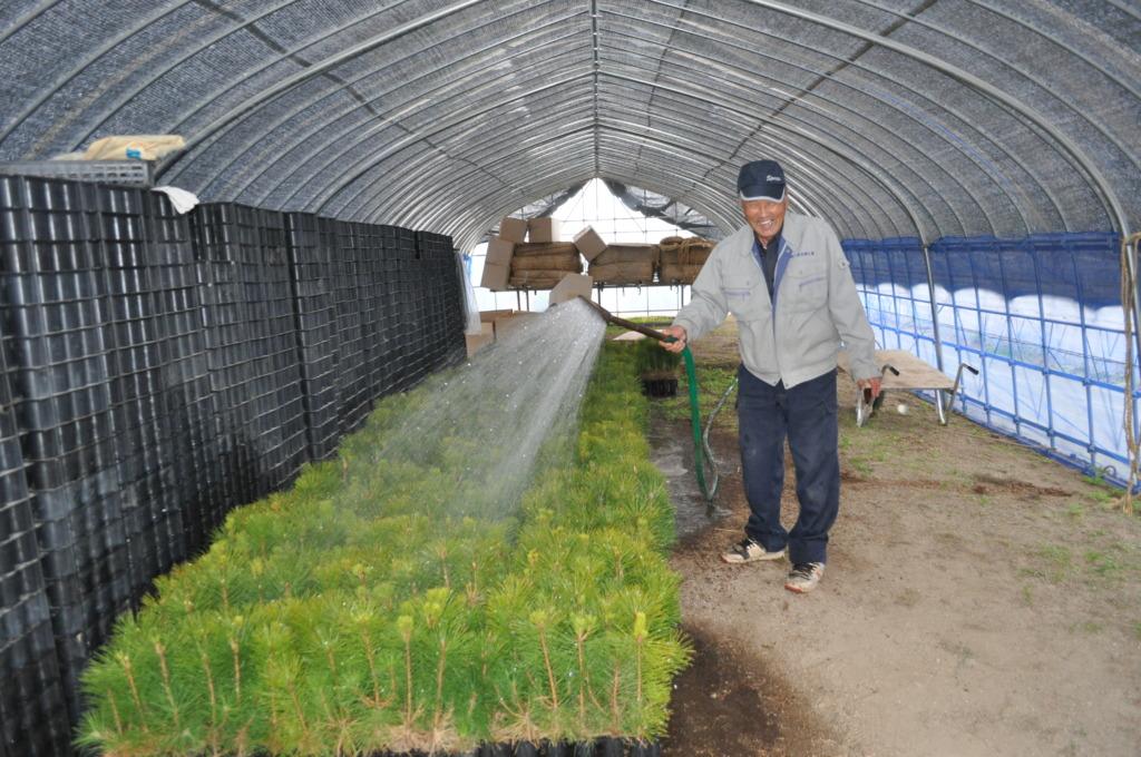 Watering of the seedlings prior to transplanting.