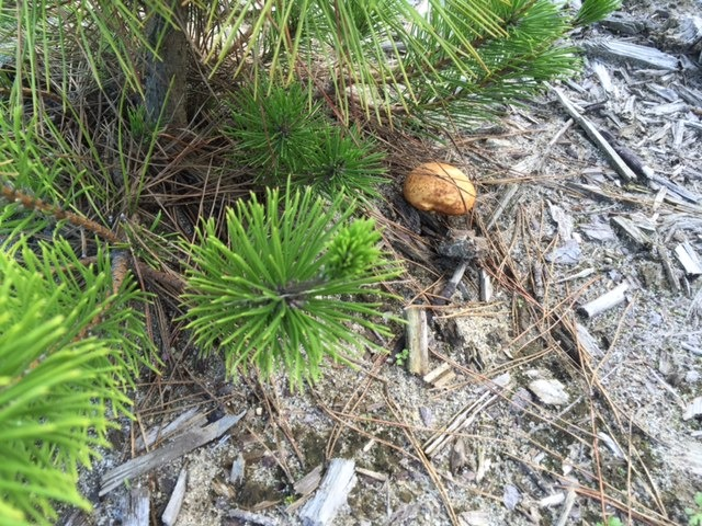 Mushroom growing near the pine seedling.