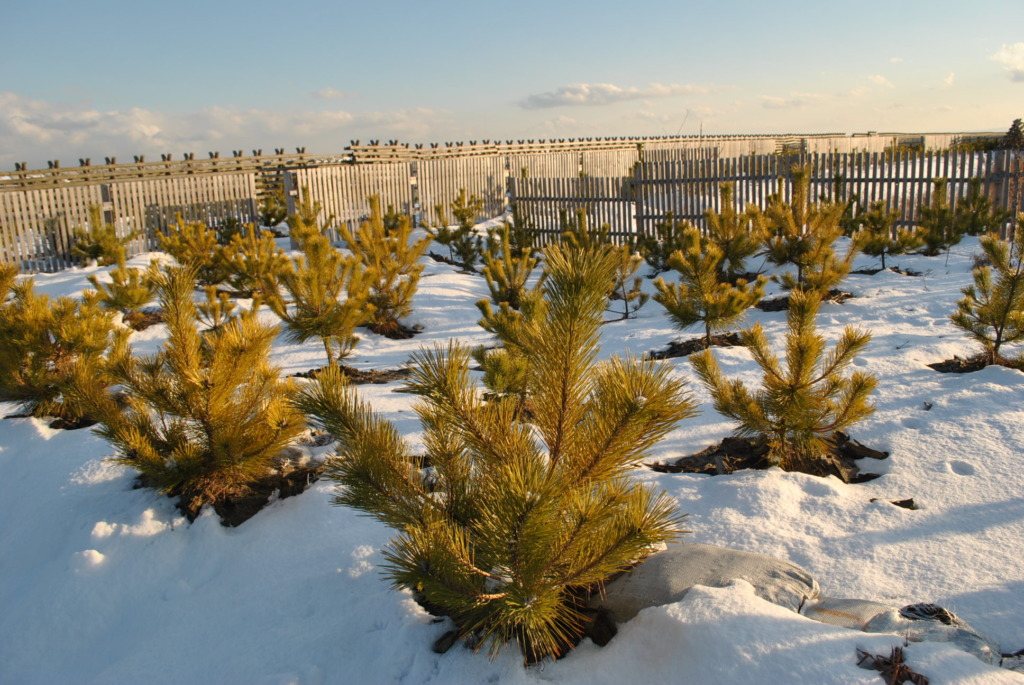 The seedlings partially covered with snow.