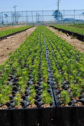 Potted Black Pine Seedlings
