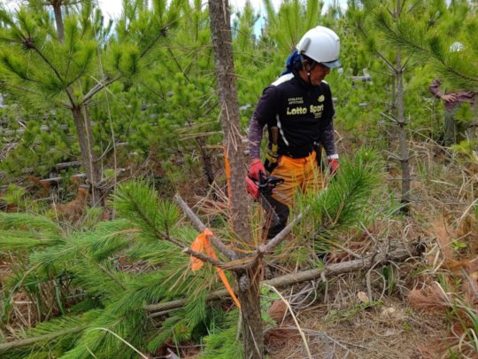 Selective cutting of black pines