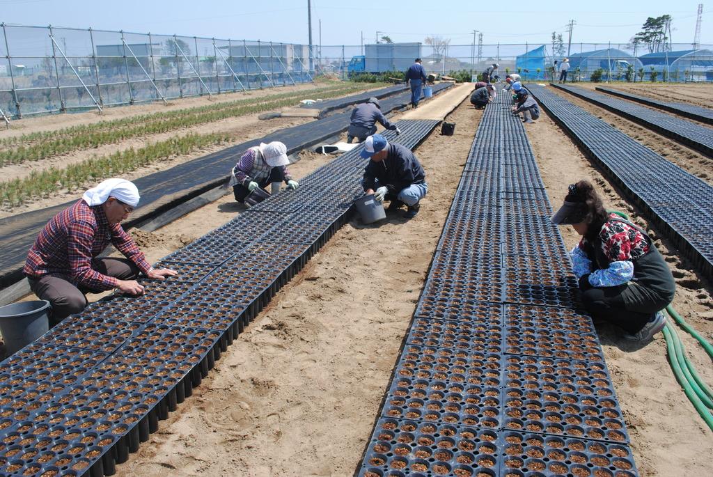 tsunami survivors sowing black pine seeds.