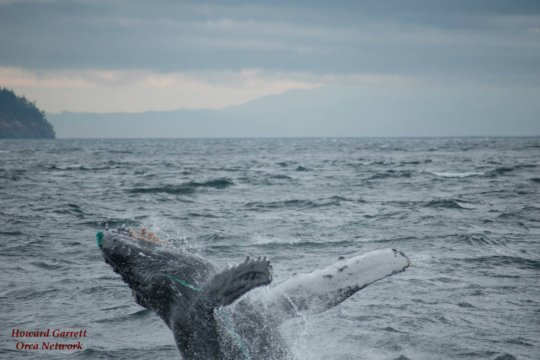 Humpback with gill netting, Oct.6th,Howard Garrett