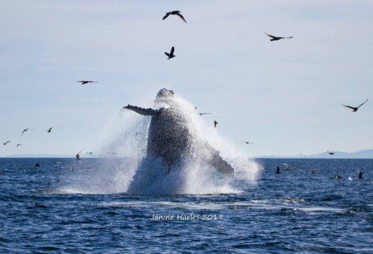 "Humpback breach ""Two Spot"", Oct. 15, Janine Harles"