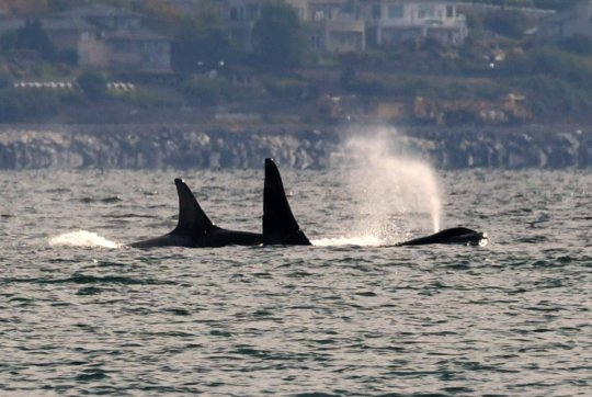 L pod off Whidbey Isl, Sept. 19, Dick Snowberger
