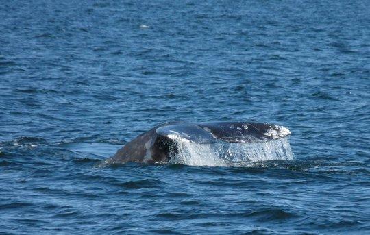 Gray whale #383, by Susan Berta