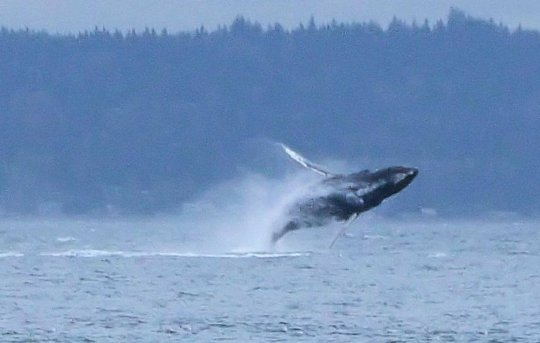 Humpback whale breaching, Rebeca Rambal, Oct. 29