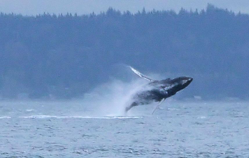Humpback whale breaching, Rebeca Rambal, Oct. 29