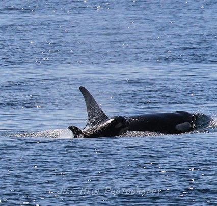 New calf J50 with J16, photo by Jill Hein