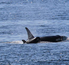 New calf J50 with J16, photo by Jill Hein