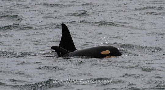Calf J52 and J36, photo by Jill Hein, Orca Network