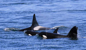 Transient orcas, photo by Jill Hein