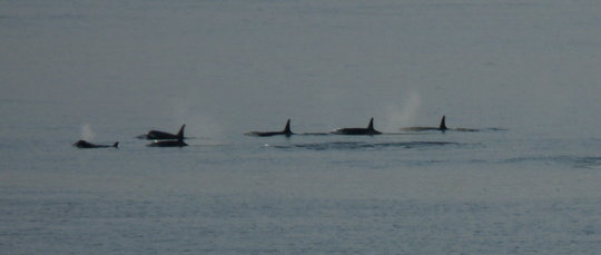 Orcas in Resting Line, Whidbey Island, Susan Berta