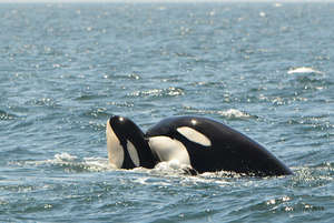 Transient Orca T65A5, photo by Connie Bickerton