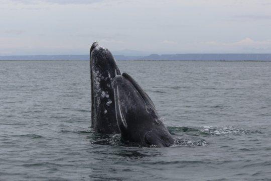 Gray whale mom & calf snuggle - Baja; Cindy Hansen