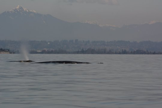 Two Gray whales & Cascade Mountains, R Snowberger