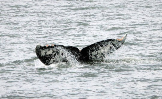 Gray whale 56 fluke, by Bonnie Gretz