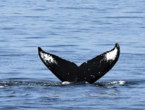Humpback, Juan de Fuca Strait, Aug. 3rd; B. Gretz