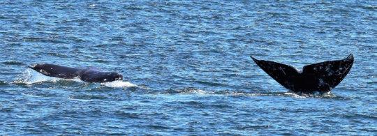 "July ""PCFG"" Gray whales, Rosario Strait, B. Gretz"