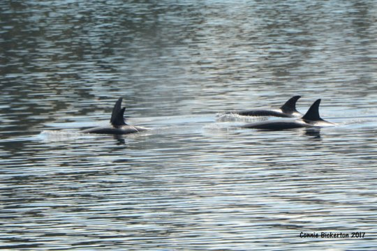 Transient Orcas T65As & T65Bs, by Connie Bickerton