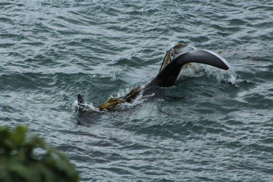 J pod orca kelping, San Juan Island, Cindy Hansen