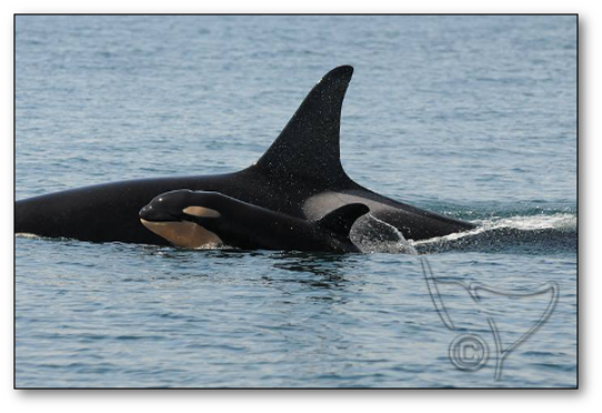 New calf L122, by Center for Whale Research