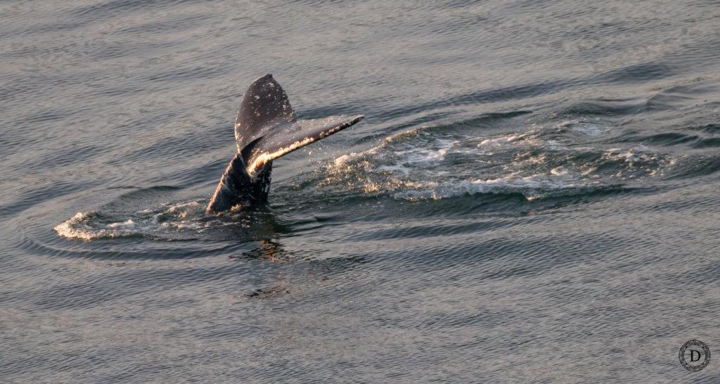 Humpback fluking, Dalco Pass, 12-21, Desiree Sauve
