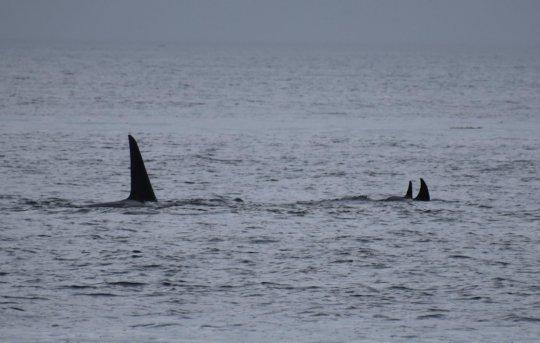 Transient Orcas, Bush Pt, Whidbey Isl, H. Garrett