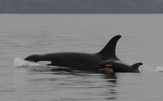 J19 with calf J51, by Center for Whale Research