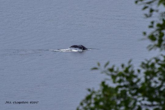 Humpback in Dalco Passage, Tacoma, Jill Clogston